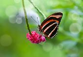 Banded Orange butterfly (Dryadula phaetusa)