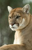 picture of mountain lion  - Close - JPG