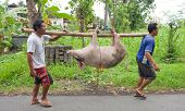 BALI - JANUARY 30. Men carry pig for slaughter for Galungan ceremony on January 30, 2012 in Bali, In