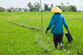 BALI - FEBRUARY 15. Farmer working with yellow hat in paddy fields on February 15, 2012 in Bali, Ind
