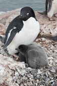 Adult Adelie Penguin And Chicks In The Nest.