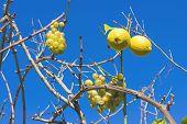 Grape and lemons