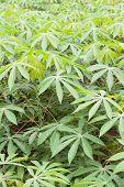 Cassava or manioc plant field in Thailand