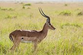 Impala In The Savannah