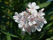 Oleander White