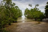 A Mangrove Swamp In Borneo