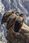 Three Condors At Colca Canyon  Sitting,peru,south America. This Is A Condor The Biggest Flying Bird