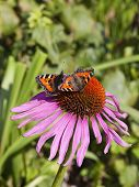 Two Small Tortoiseshell Butterflies