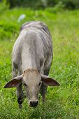 White Cow Eating In Pasture