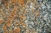 Lichens On A Rock