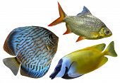 pic of diskus  - marine aquarium fish isolated on white background - JPG