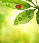 image of green leaves  - Picture of a Ladybug sitting on a green leaf - JPG