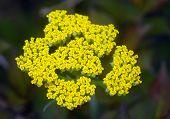 Yellow Yarrow Achillea Flower
