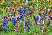 Close-up image of grapes in the vineyards of Piedmont region in Northern Italy.