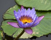 stock photo of water lily  - Blue Yellow Water Lily Flowers and Pads Closeup Macro