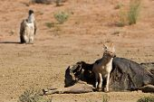 stock photo of jackal  - Hungry Black backed jackal eating on a hollow carcass in the desert with vulture watching - JPG