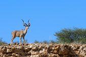 Lone Male Kudu Bull Gorgeous Horns Standing In Dry Desert