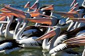 Large group of Australian Pelicans feedings