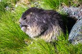 Cute Marmot Holding His Food With His Front Legs