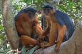 Lovely Western Red Colobus Monkey Couple Holding Hands