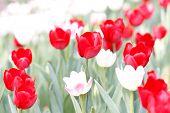 Close Up Beautiful Red Tulip Field