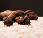 a cute chocolate lab puppy sleeping in a house with shallow dept