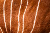 stock photo of bongo  - Real Bongo pattern or texture or skin or background - JPG