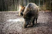 Wild Boar (sus Scrofa) Close-up