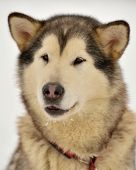 Alaskan Malamute before the sled dog racing