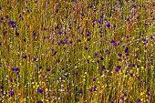 stock photo of thor  - Utricularia delphinoides Thor - JPG