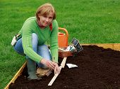 Gardening, sowing -  woman sowing sugar peas into the soil