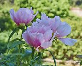 vibrant pink peony flowers bunch