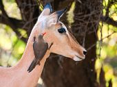 stock photo of ox-pecker  - Red - JPG