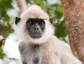 Grey Faced Langur portrait