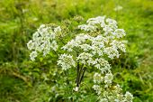 Flowering Cow Parsley From Close