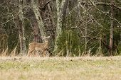 stock photo of cade  - A whitetail buck on the edge of a field. Cades Cove Great Smoky Mountains National Park TN USA.