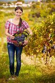 Female vintner harvesting grapes in vineyard