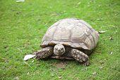 Centrochelys Sulcata Turtle In Green Grass
