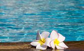 Tropical flower Plumeria  on swimming pool