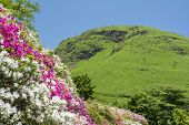 Azalea flowers on slopes