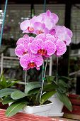 Phalaenopsis Purple Stripe X Hybrid Orchid Flower Bloom