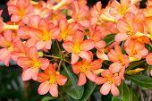 picture of desert-rose  - Orange Adenium obesum tree Desert Rose Impala Lily Mock Azalea - JPG