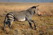 Cape Mountain Zebras (Equus zebra) running in grassland, Mountain Zebra National Park, South Africa