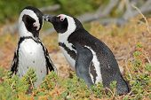 Breeding pair of African penguins (Spheniscus demersus), Western Cape, South Africa