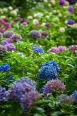 color hydrangea flowers in summer garden