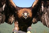 picture of mongol  - a young golden eagle is being trained to hunt in China - JPG