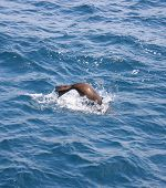 Jumping California Sea Lion