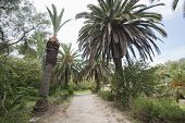 Dirt road between date palm trees; Tunis; Tunisia