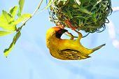 Southern Masked Weaver Bird Ploceus velatus African Masked