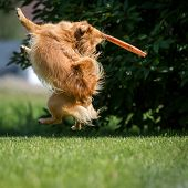 image of frisbee  - Small brown dog at the start of a Frisbee - JPG